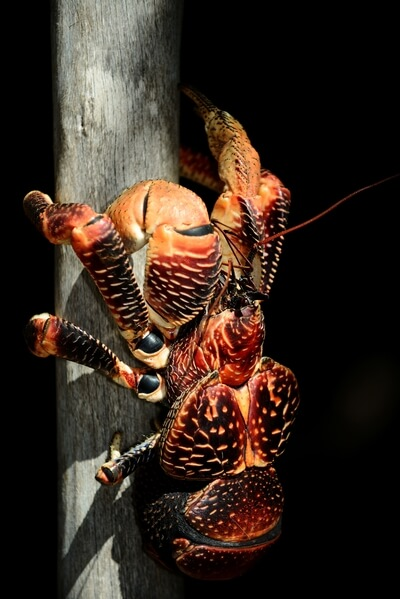 Coconut crab, male
