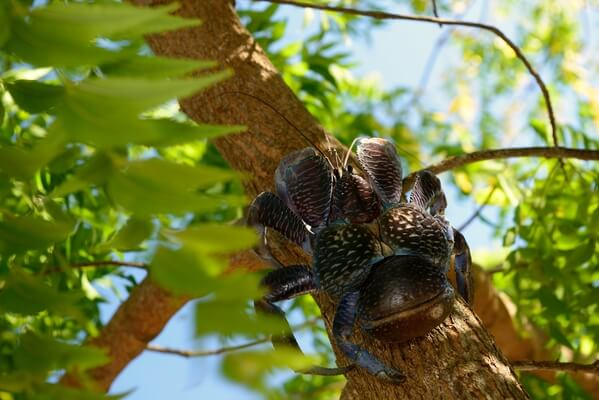 Coconut crab, female