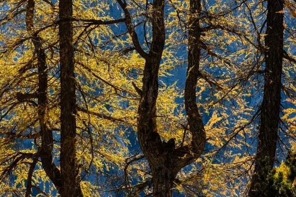 Golden larch trees
