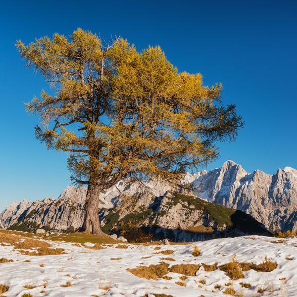 The famous larch tree