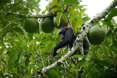 Western Region photography spots - Chimpanzee Tracking in Budongo Forest