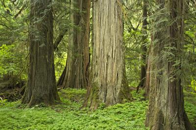 Packwood photography locations - Grove of the Patriarchs, Mount Rainier National Park