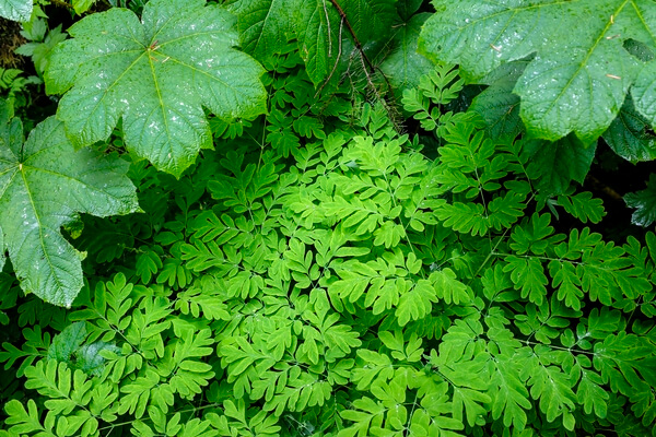 Leaves of Western Corydalis and Devil's Club