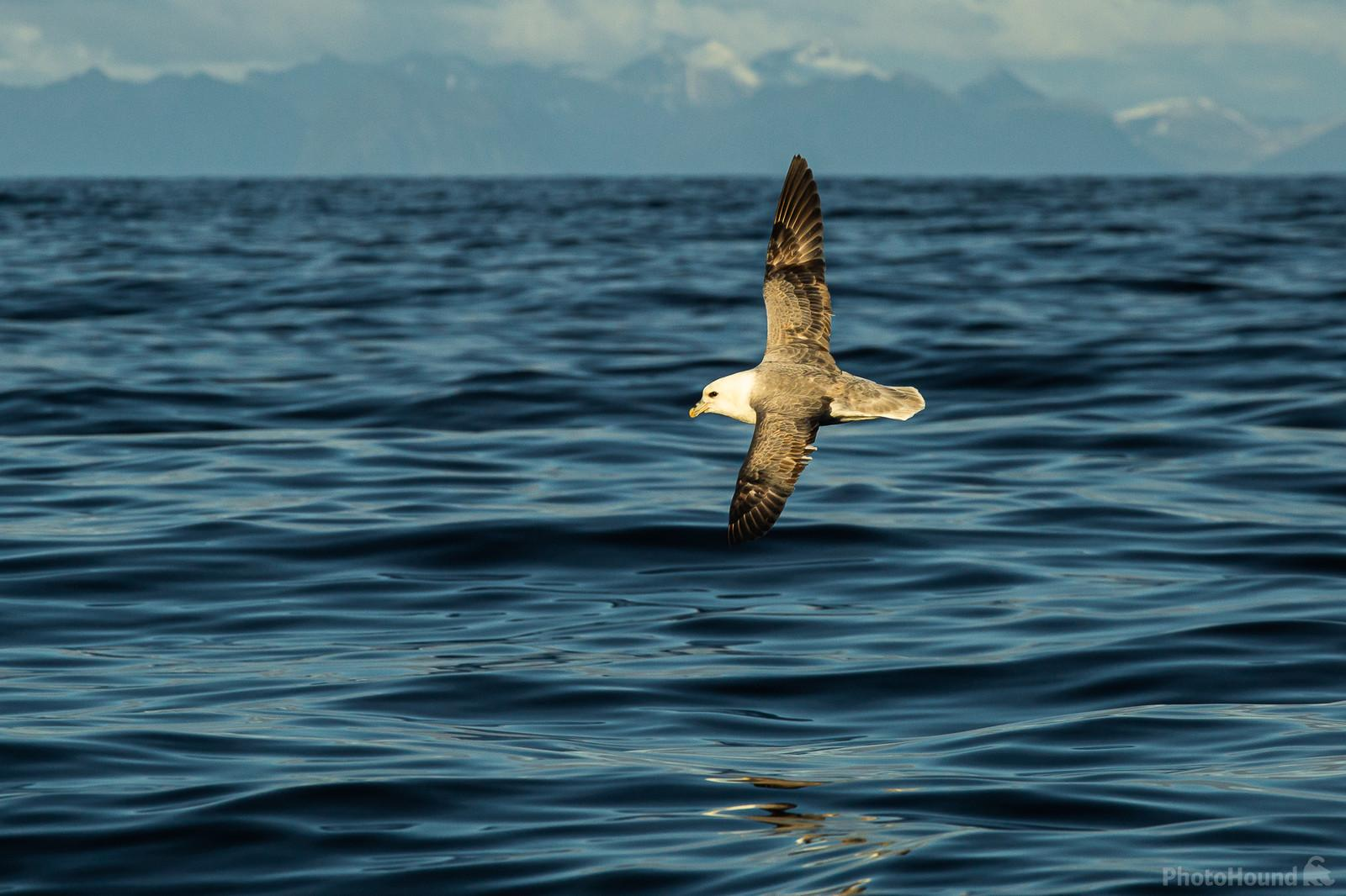 Fulmar photography