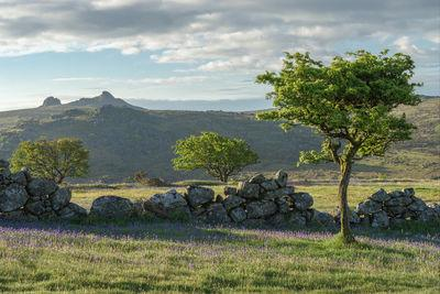Holwell Lawn dry stone walls and hawthorn at sunrise in May looking east towards Haytor.