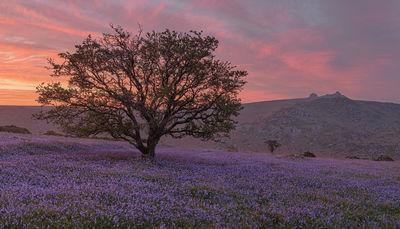 Holwell Lawn hawthorn and bluebells at sunrise in May looking east towards Haytor.