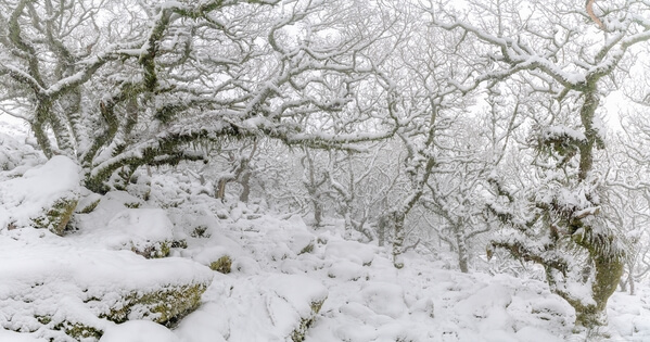 Heavy snowfall and fog in Wistman's Wood in the winter.