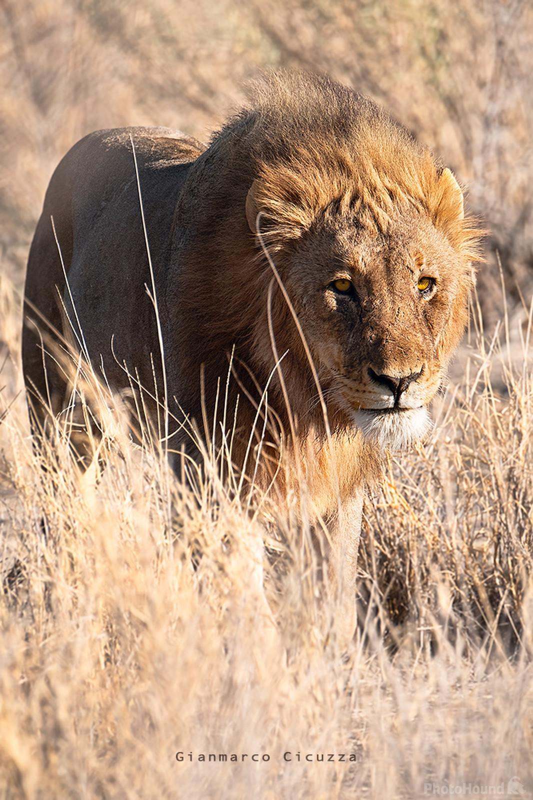 This male lion was hunting the area of Etosha close to Namutoni. We managed to get very close with our car to the point that i could feel the lion breathing. He was hunting with two lioness and they were constantly smelling the air for preys. Really mind blowing experience.