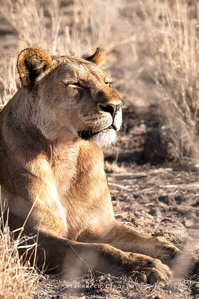 This lioness was partnering with the male lion in the hunting. In this picture she is smelling the air in search of preys. It's been a magic moment in Etosha.