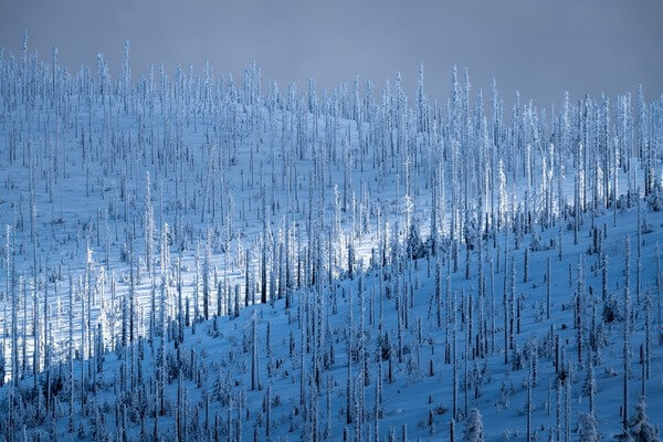 The forest of dead trees, as viewed from Hochstein view in winter