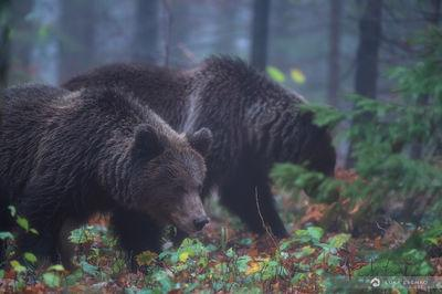 Two brown bears in a forest