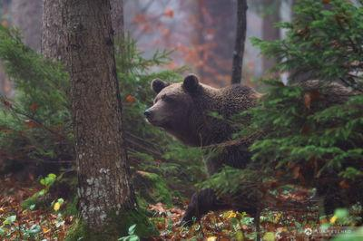 Brown bear in the thick Slovenian forest