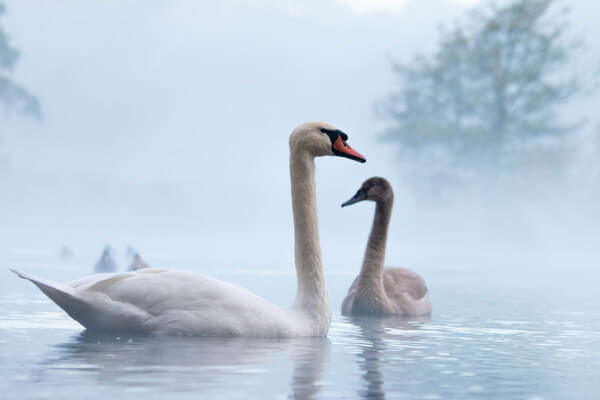 Misty morning lake blending with the beautiful swans