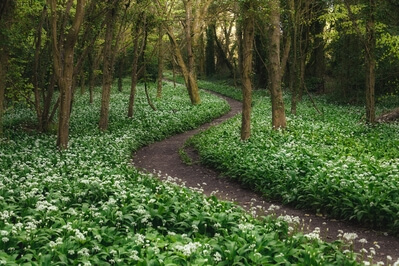 photos of South Wales - Stackpole Wild Garlic Wood