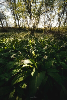 images of South Wales - Stackpole Wild Garlic Wood