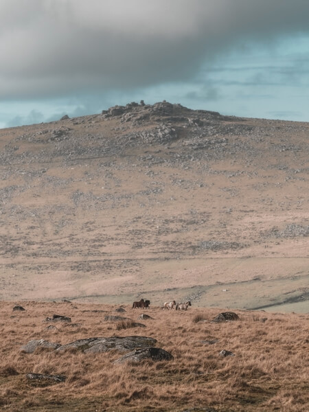 Dartmoor ponies running across Little Mis Tor, heading towards Great Mis Tor with Staple Tor as the backdrop.