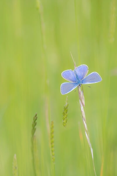 A Chalk Hill blue lounging in the long grass on Watlington Hill