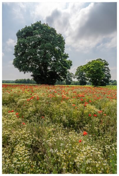 Wonderful field full of poppies with good background potential.