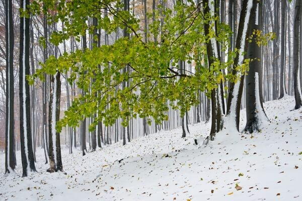 The beech forest under the Studený Hill after an unexpected autumn snowstorm