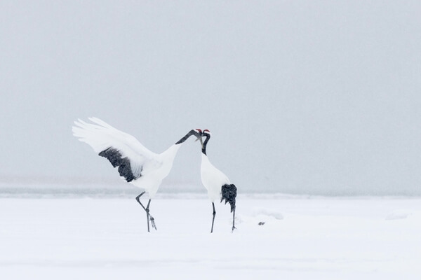 The pair of Red-crowned cranes that live in Nemuro and sometimes come to the eagle feeding ground.