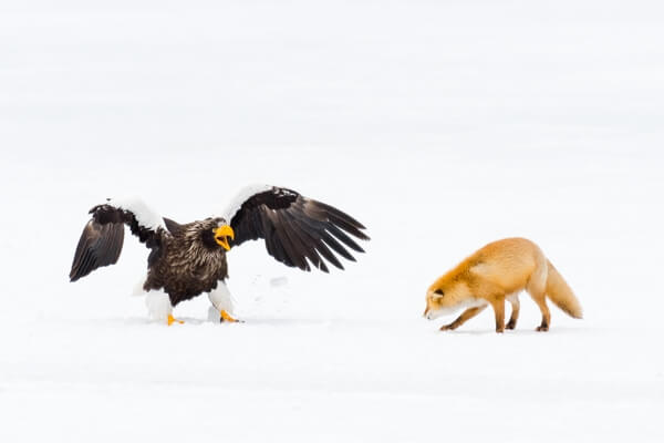 A red fox being very cautious around a Steller's sea eagle
