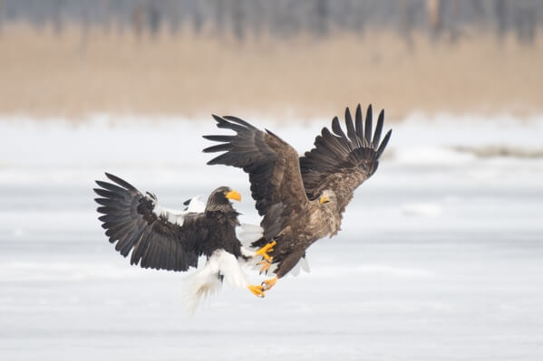 A Steller's sea eagle trying to steal the his right from the talons of the White-tailed eagle.