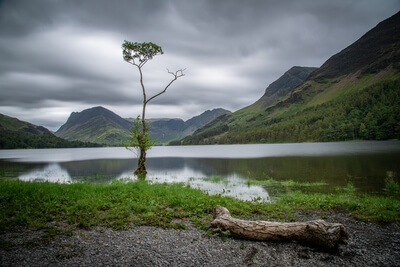 images of Lake District - Buttermere lonely tree
