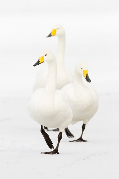 Trio of whooper swans