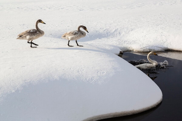 Whooper swans accessing a thermal melt pond on Lake Kussharo