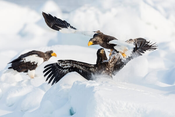 Steller's eagles in a tussle over food