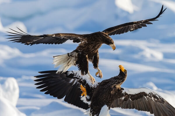 Steller's eagles in a tussle