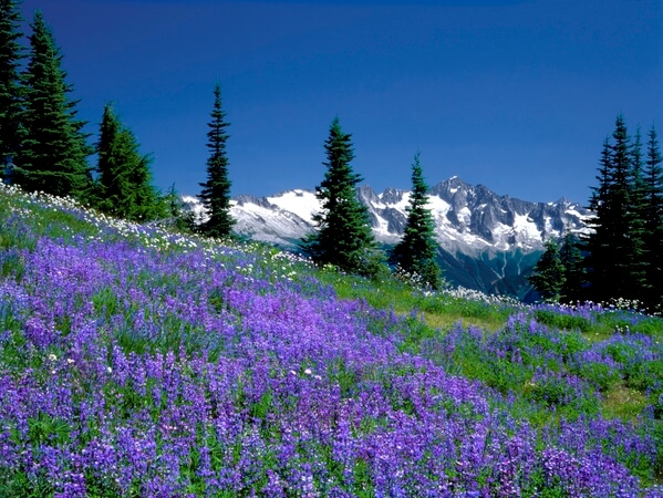 Lupine Covered Meadow