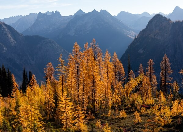 Larch Trees Below Maple Pass