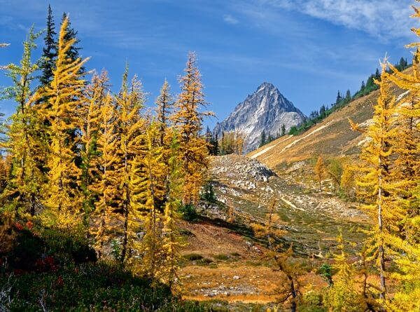 Larches at Easy Pass