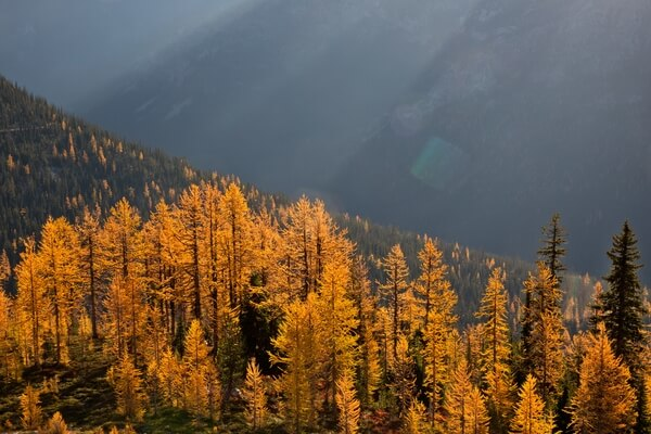Early Morning Light on Larch