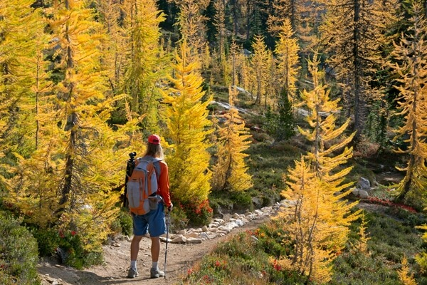 Larch trees near  Cutthroat Pass