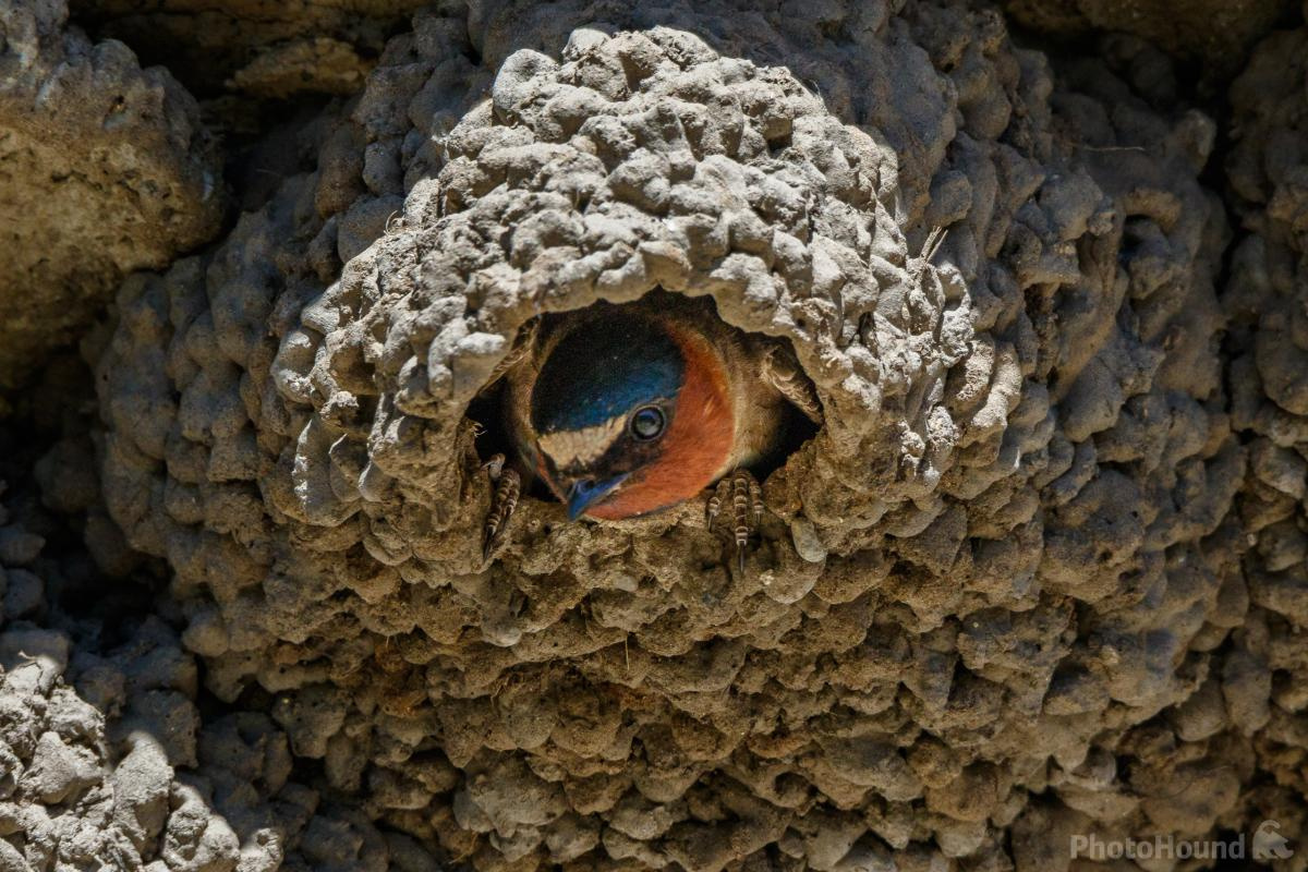 Cliff Swallow nest, Soda Butte