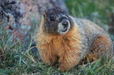 photography locations in Rocky Mountain National Park - Wildlife - Marmot