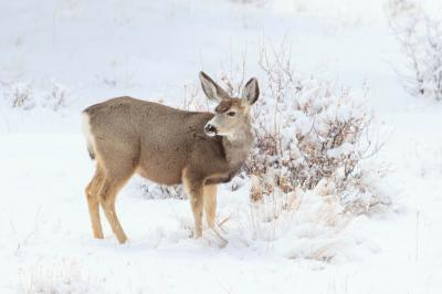 Rocky Mountain National Park photography spots - Wildlife - Mule Deer