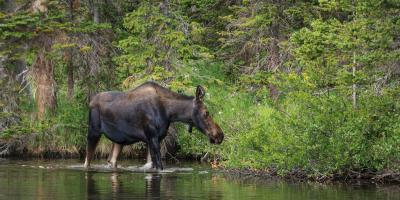 images of Rocky Mountain NP - Wildlife - Moose
