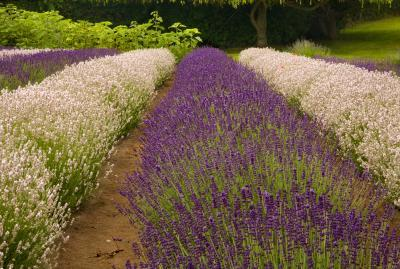 pictures of Olympic National Park - Sequim Lavender Fields