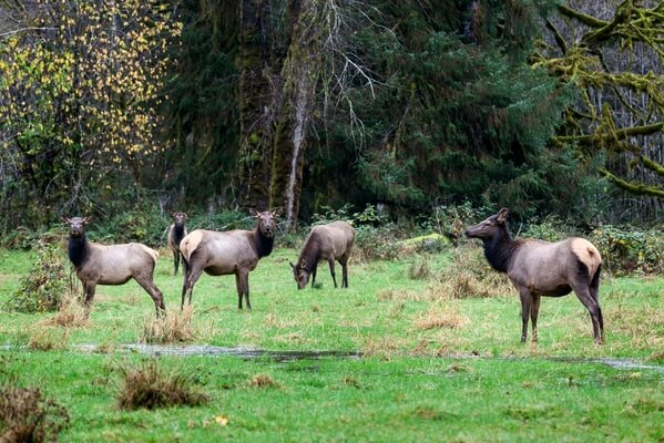 Elk in the Queets Rain Forest
