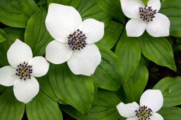 Ground Dogwood