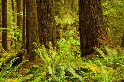 photos of Olympic National Park - Ancient Groves Nature Trail