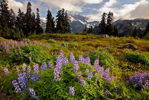 Lupine and O'Neil Peak