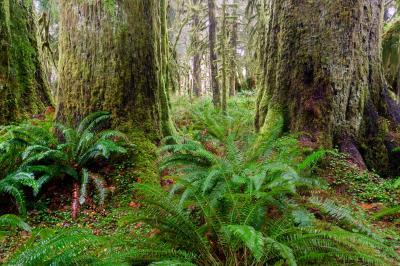 pictures of Olympic National Park - Maple Glade Nature Loop