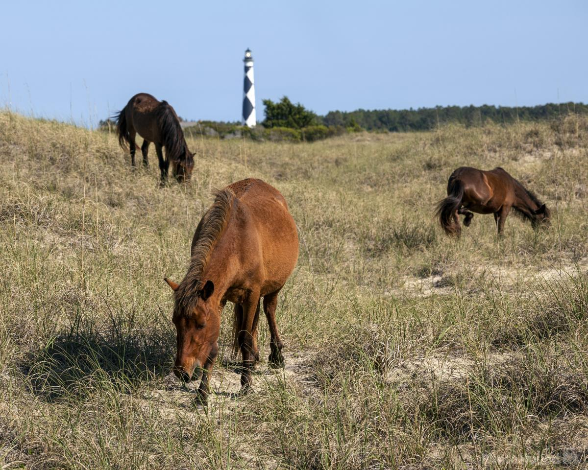 The Wild Horses of Shackleford Banks