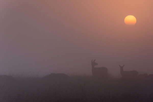 Deers at Sunrise